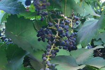 Zante-Currant-on-the-plant