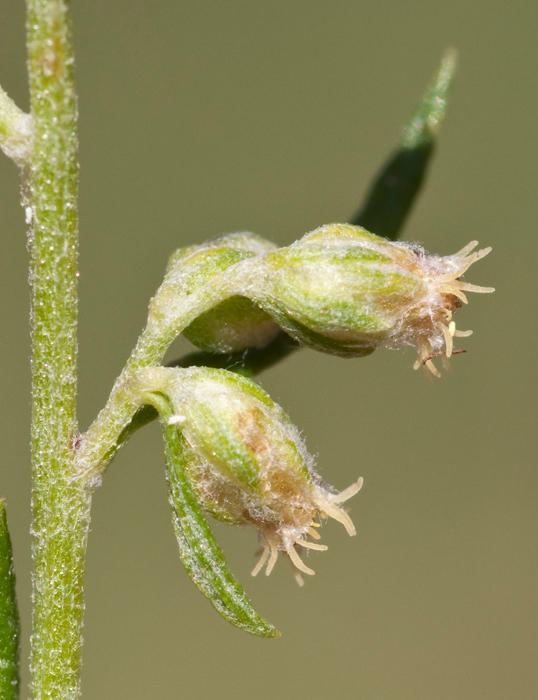 Flower-buds-of-Zoysia-grass