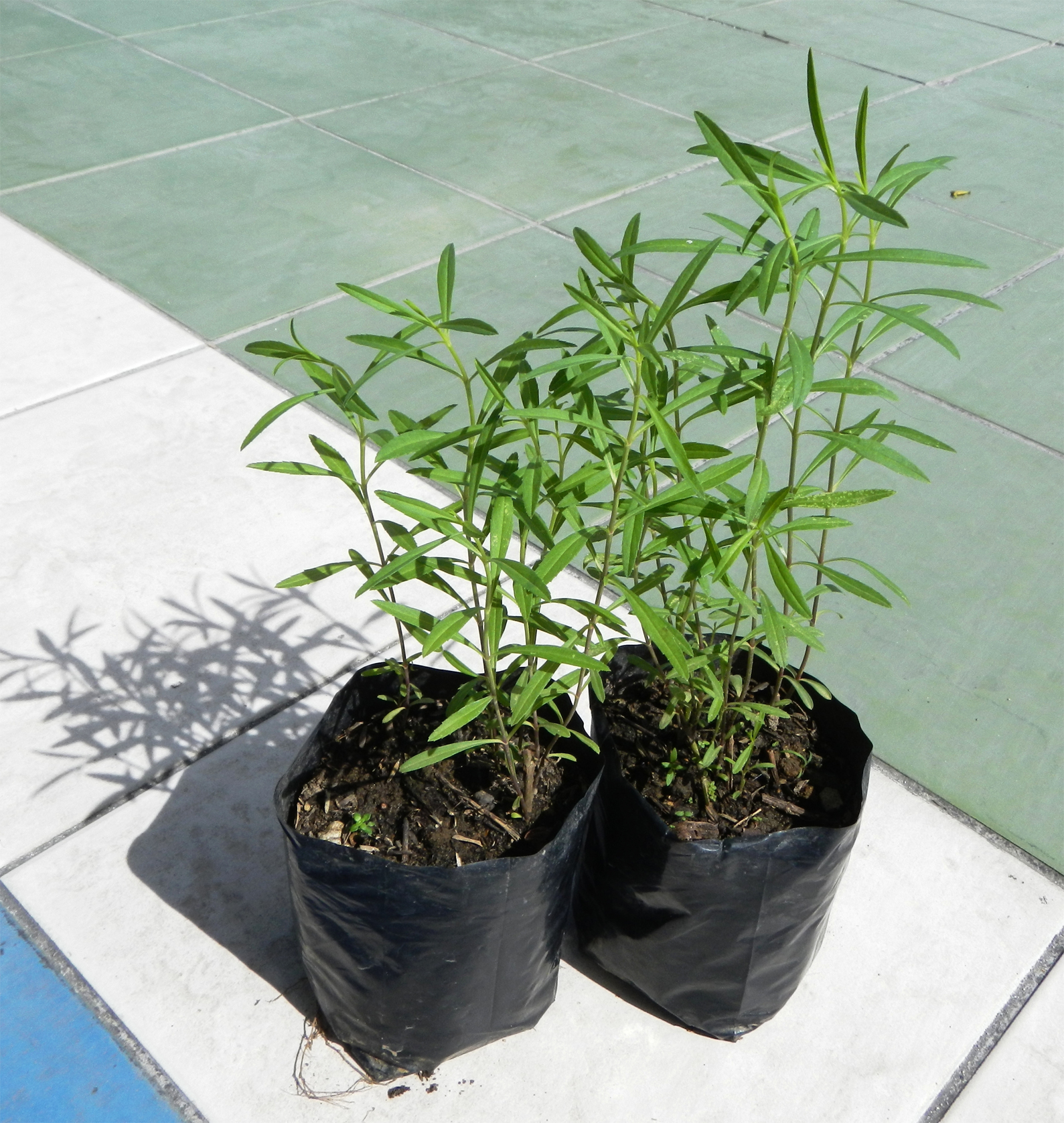 Zoysia-grass-plant