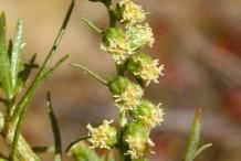 Zoysia-grass-flower