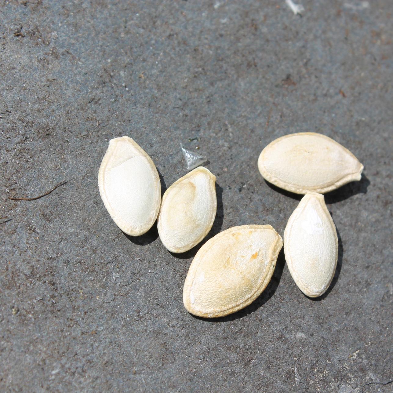 Zucchini-seeds