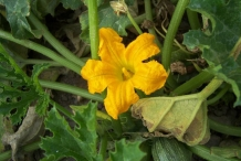 Close-up-flower-of-Zucchini