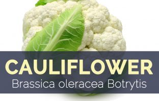 Cauliflower - Brassica oleracea Botrytis