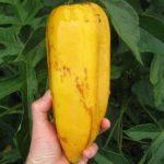 Babaco-Papayas