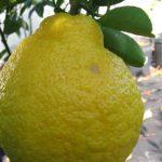 Sanbokan-Lemon