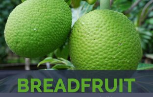Breadfruits facts and health benefits