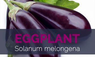 Eggplant - Solanum melongena
