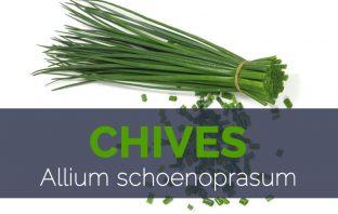 Chives - Allium schoenoprasum