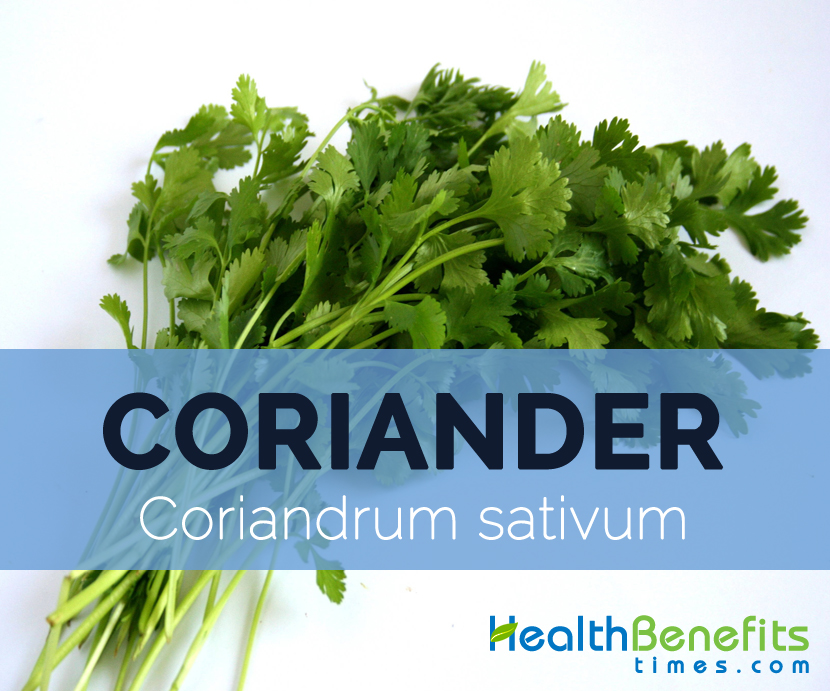 Coriander---Coriandrum-sativum