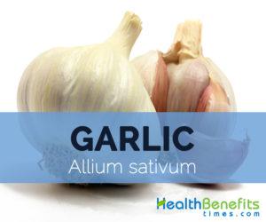 Garlic---Allium-sativum