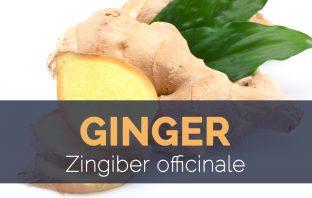 Ginger - Zingiber officinale