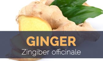 Ginger - Zingiber officinale