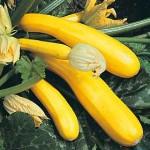 Gold Rush Zucchini