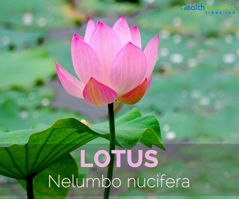Lotus---Nelumbo-nucifera