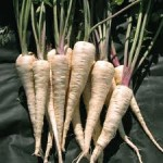 The Student Parsnips