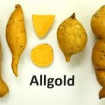 Allgold Sweet Potatoes