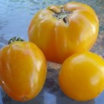 Amarillo Yellow' Tomato