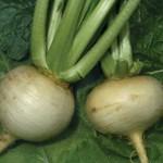 Amber Globe Turnip
