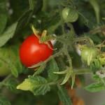Andrina Tomato