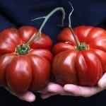 Arbuznyi Tomato