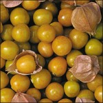Aunt Molly's Ground Cherry Tomato
