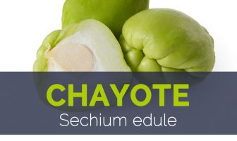 Chayote - Sechium edule
