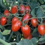 Elfin Tomato