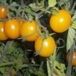 Galina Tomato