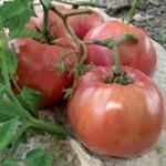 Giant Syrian tomato