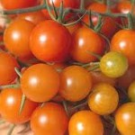 Golden Gem tomato