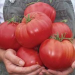 Mexican (Red Calabash) Tomato