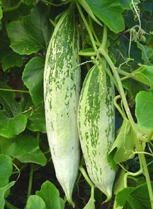 how to clean snake gourd