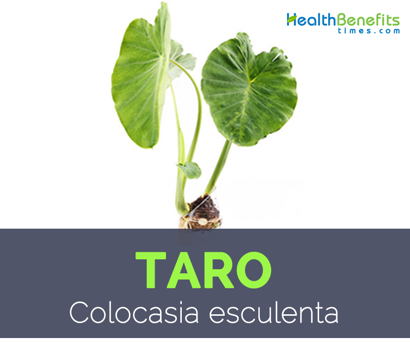complete plant description of colocasia esculenta A stemless plant, colocasia esculenta, of the arum family  colocasia esculenta, dalo, taro plant  this information should not be considered complete.