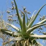 Aloe ballyi