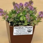 Heretus Thyme