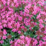 Pink Chintz Thyme
