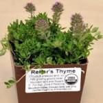 Reiter's Thyme