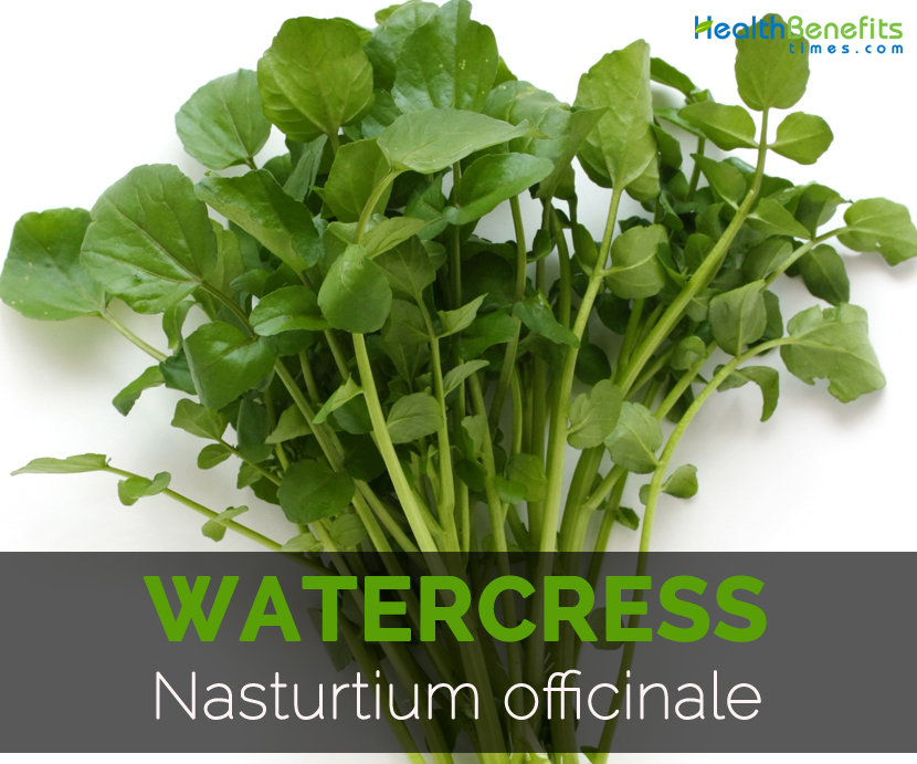 Watercress-Nasturtium-officinale