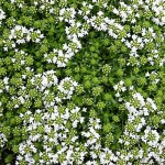 White Moss Thyme