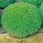 Bush Basil