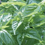 Genovese Red Freddy Basil