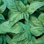 Italian Large Leaf Basil