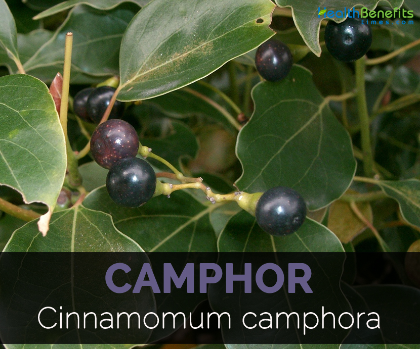 Camphor Facts and Health Benefits
