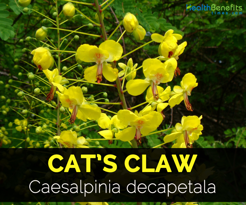 Cat S Claw Facts And Health Benefits