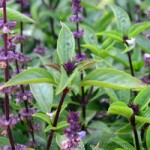 Sweet Thai Basil