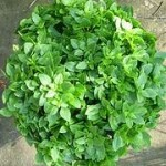 Yevani Greek Mini Basil