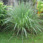 Australian Lemon Grass