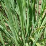 Cymbopogon schoenanthus
