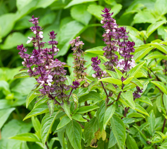 Health benefits of Holy Basil