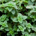 Hot & Spicy oregano